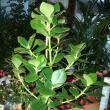 Clusia rosea, un arbust cu flori parfumate