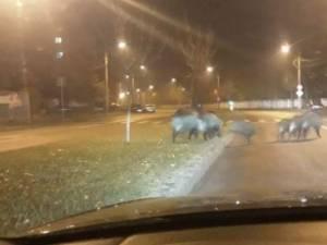 O turmă de mistreți a umblat azi-noapte pe străzile Sucevei