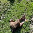 Oaie mâncată de urs